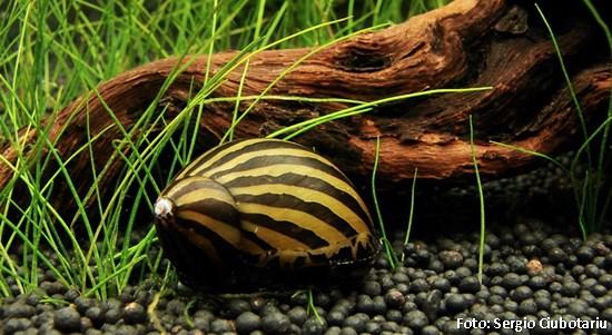 Peixes comedores de algas Calgae13