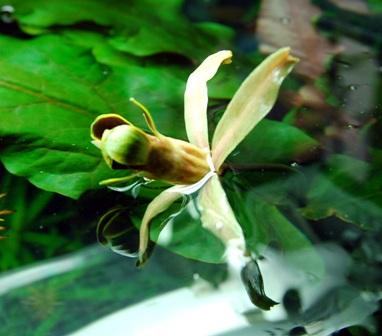 TÌNH YÊU CÂY CỎ  Barclayalongifolia_2