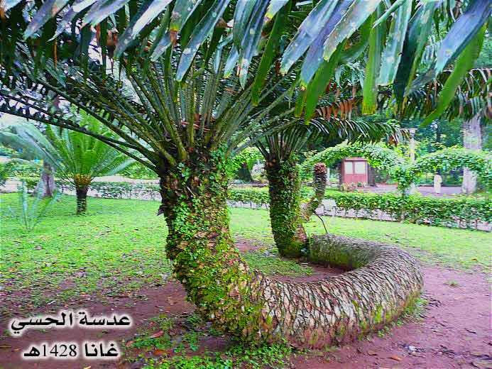 أغرب مارأيت من أشجار Ghana023