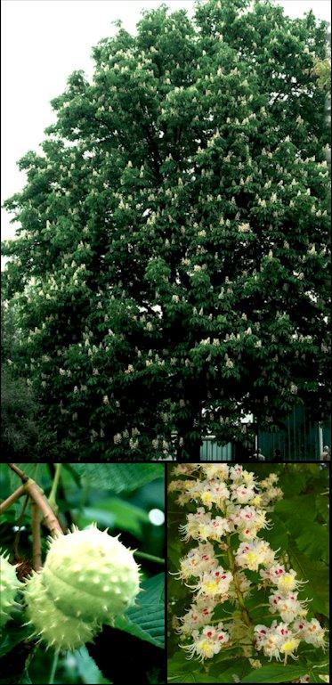 Aesculus hippocastanum Aesculushipo