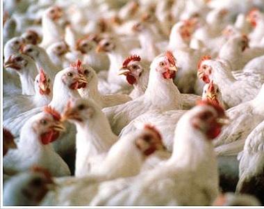 داء يصيب الدجاج ويؤدي الى نفوقه 1325778189