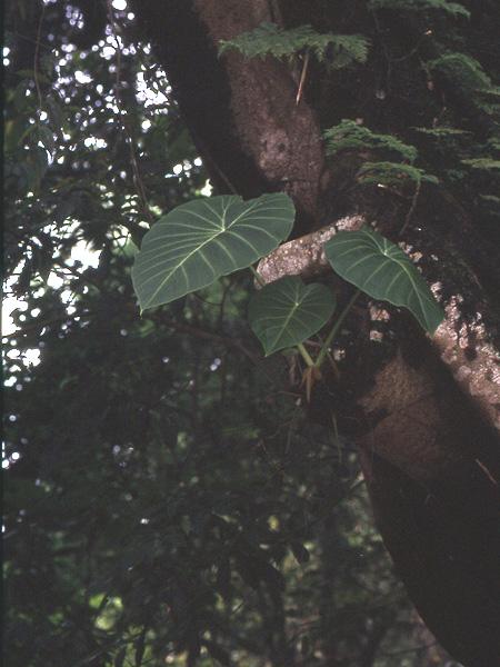 Remusatia vivipara Remuvivipara881
