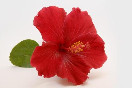 [MORT] Hibiscus Fleur-hibiscus