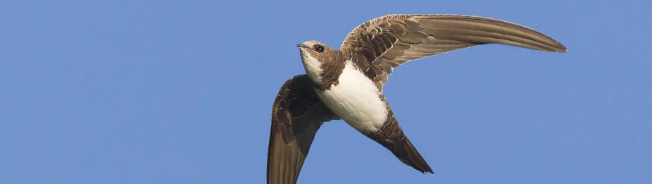 oiseau -Ajonc - 7 octobre trouvé par Martine Alpensegler_pano