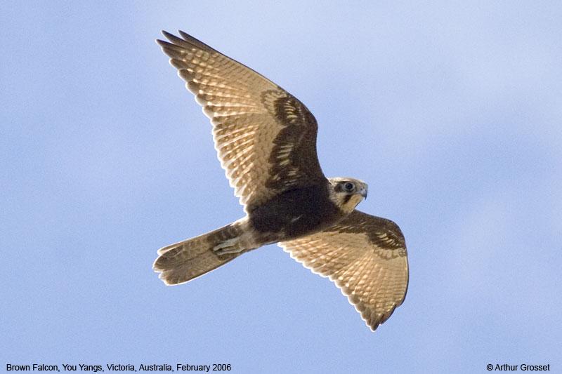 Falconiformes. sub Falconidae - sub fam Falconinae - gênero Falco Falber18257