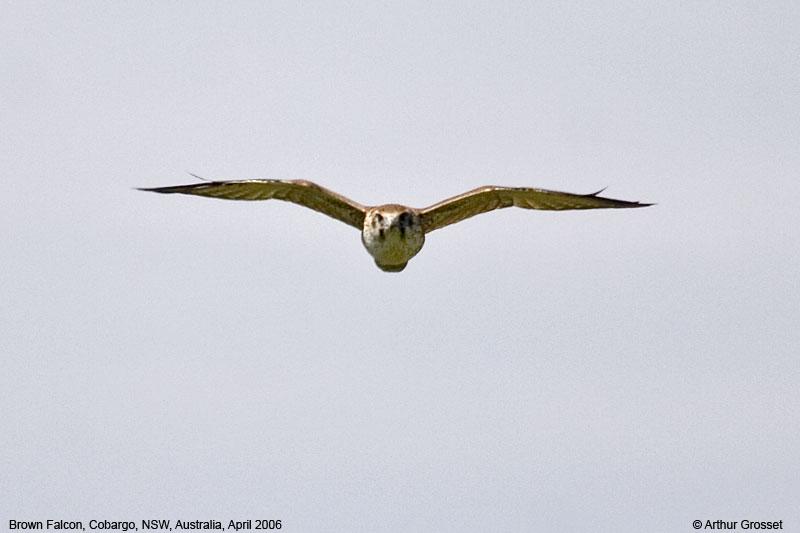 Falconiformes. sub Falconidae - sub fam Falconinae - gênero Falco Falber20310