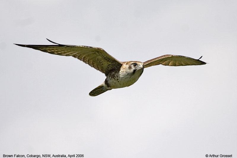 Falconiformes. sub Falconidae - sub fam Falconinae - gênero Falco Falber20311