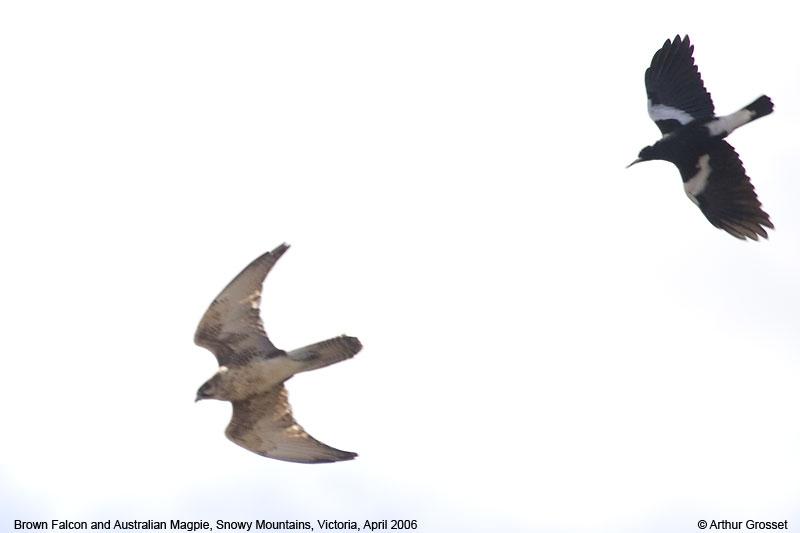 Falconiformes. sub Falconidae - sub fam Falconinae - gênero Falco Falber20445