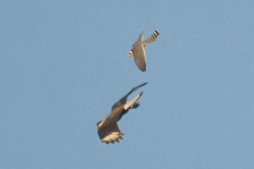Falconiformes. sub Falconidae - sub fam Falconinae - gênero Falco Falfem10897