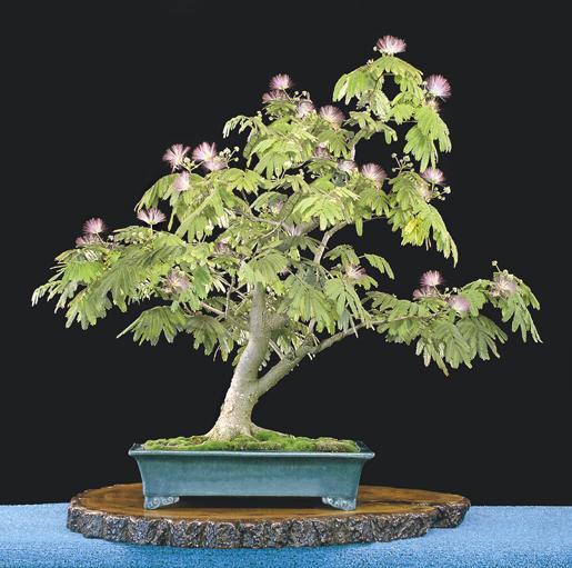 Acacia 14