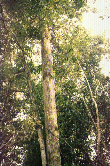 Árvores - Nossos baixos antes de tomar forma Perobc2