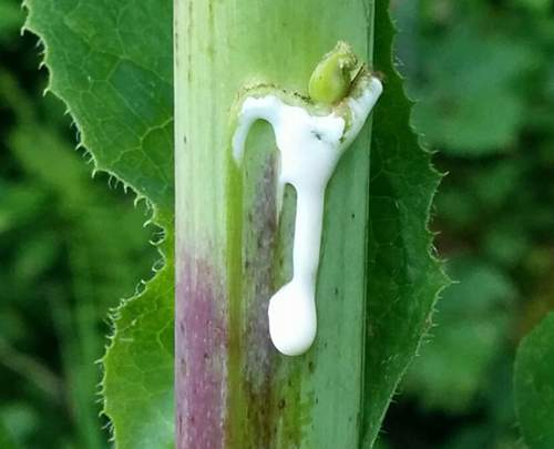 Similar to Morphine: The Best Natural Painkiller that Grows in Your Backyard Lettuce-opium-sticky-extract-of-wild-lettuce