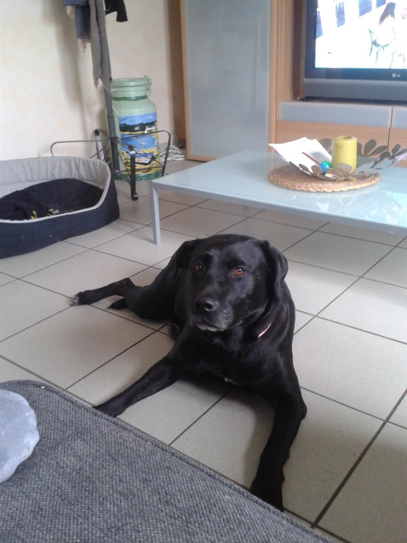 TALHIA - x labrador 9 ans cherche famille d'accueil définitive - Asso Galia (85) Tahlia