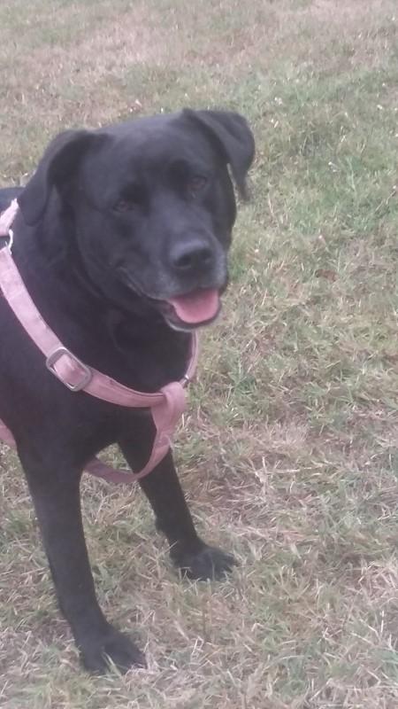 TALHIA - x labrador 9 ans cherche famille d'accueil définitive - Asso Galia (85) Talhia4