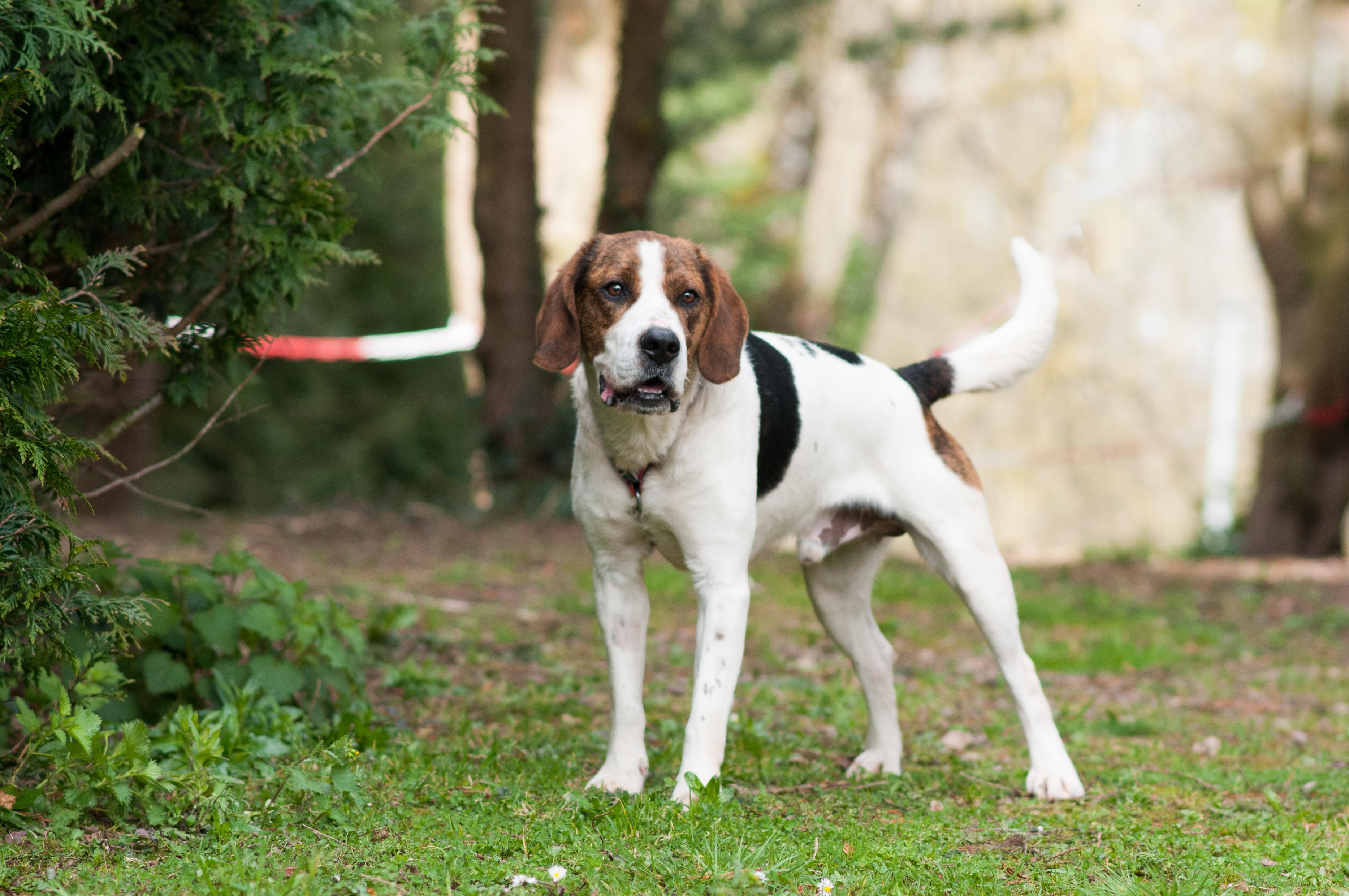 KIWI - beagle harrier 2 ans - Refuge des Orphelins à Aunay sur Odon (14) DSC0495