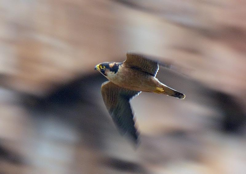 Falconiformes. sub Falconidae - sub fam Falconinae - gênero Falco Falcon_Taita29066pa