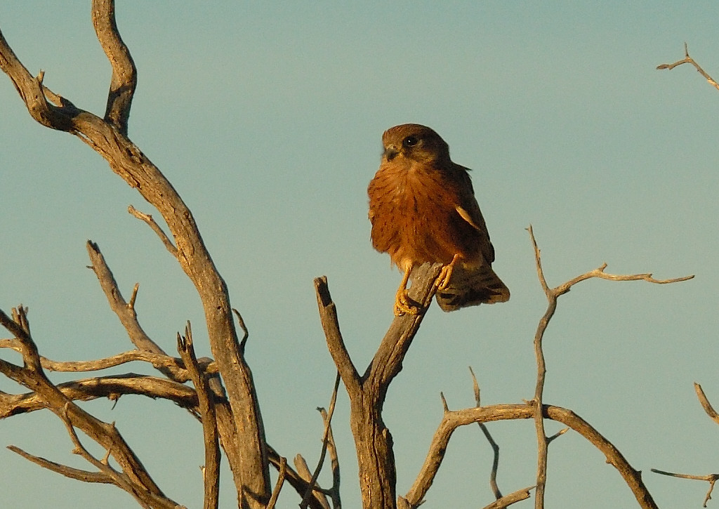 Falconiformes. sub Falconidae - sub fam Falconinae - gênero Falco - Página 2 Kestrel_Rock3568