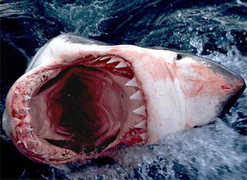 Suite à question sur nos animaux de (bonne) compagnie - Page 5 Shark-teeths