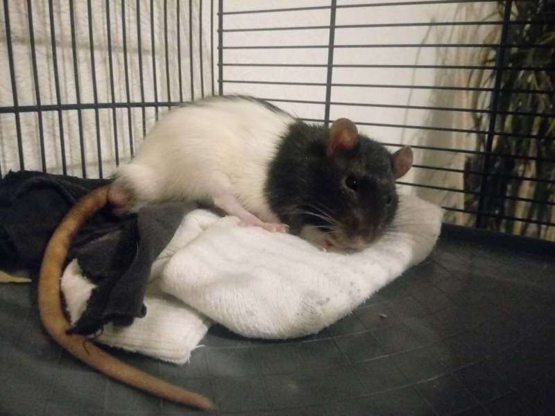 Wasu et Noki, rats mâles à adopter [Au Bazar des NAC] Wasu