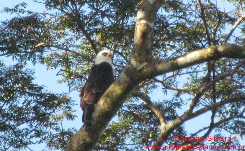 Falconiformes. Família  Acciptridae - Subfamília Buteonidade- Gaviões de penacho. genêro SPIZAETUS Spizastur-melanoleucus2-Bertioga-SP-Brazil-17-8-12-ASilveira
