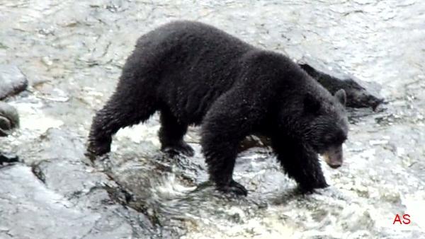 Urso negro VS Jaguar Urso-negro-13-Ketchikan-Alasca3-9-10-ASilveira