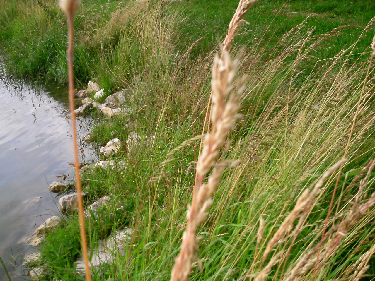 Carex acutiformis ? laîche des marais [id. non terminée] Identification1