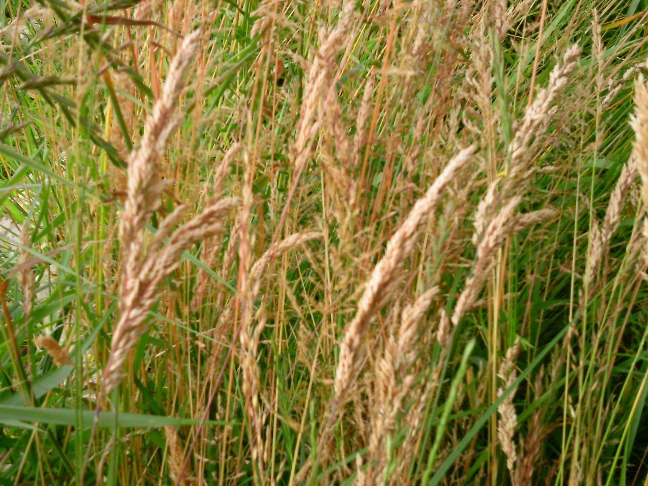Carex acutiformis ? laîche des marais [id. non terminée] Identification2