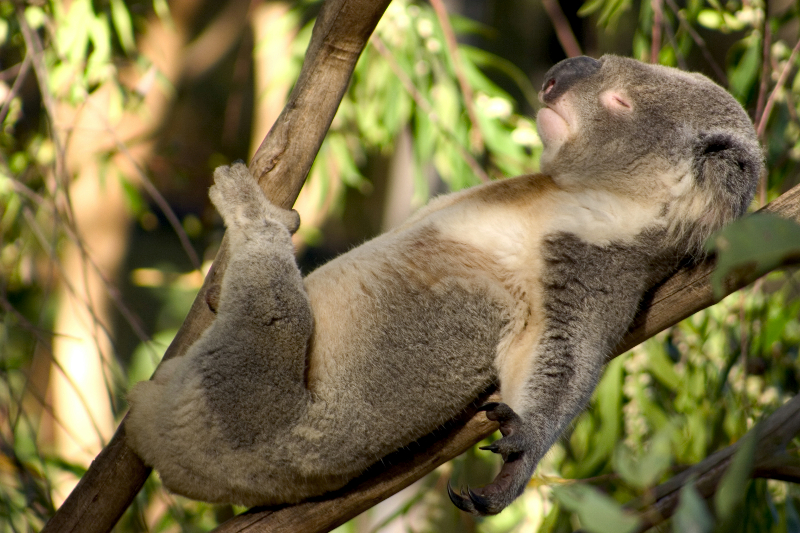 AUSTRALIAN OPEN 2021 - INSCRIPTIONS AUX CONCOURS Wp_post_1939_0_koala-sieste