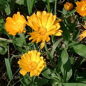 Midi Pyrénées  Plante%20Souci%20calendula-Calendula%20officinalis