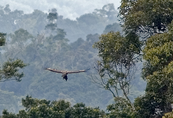 Falconiformes. Família  Acciptridae - Subfamília Buteonidade-Águias coroadas - gênero Pitecophaga jefferyi . Águia das Filipinas. Philippine-Eagle_Mindanao07