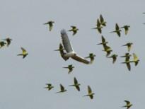 Falconiformes. Família  Acciptridae - Subfamília Buteonidade- Gaviões de penacho. genêro SPIZAETUS Taticas_caca0_m