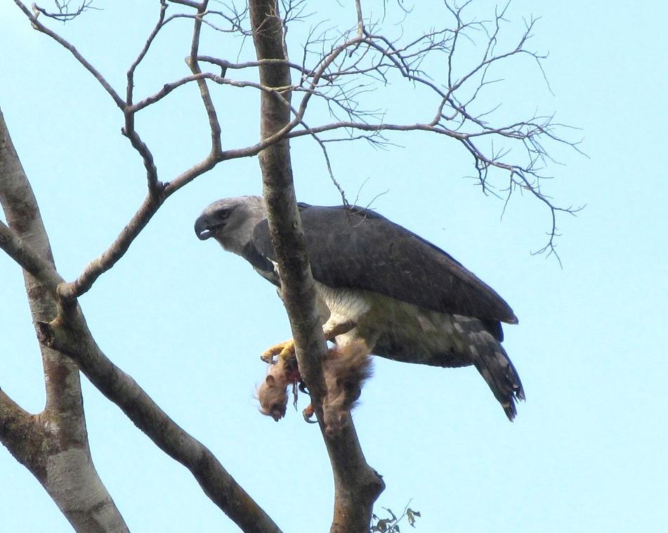 Falconiformes. Família  Acciptridae - Subfamília Buteonidade- Gaviões de penacho. genêro SPIZAETUS Taticas_caca1
