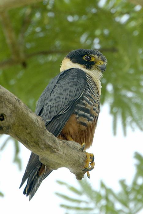 Falconiformes. sub Falconidae - sub fam Falconinae - gênero Falco - Página 2 Falc%C3%A3o-morcegueiro-65147-72