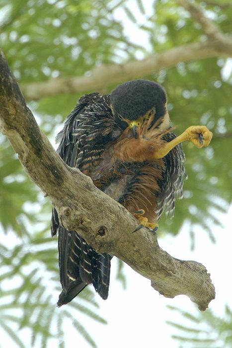 Falconiformes. sub Falconidae - sub fam Falconinae - gênero Falco - Página 2 Falc%C3%A3o-morcegueiro-65149-72