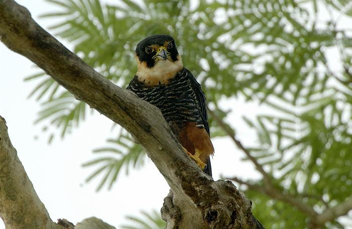 Falconiformes. sub Falconidae - sub fam Falconinae - gênero Falco - Página 2 Falc%C3%A3o-morcegueiro-65159-72