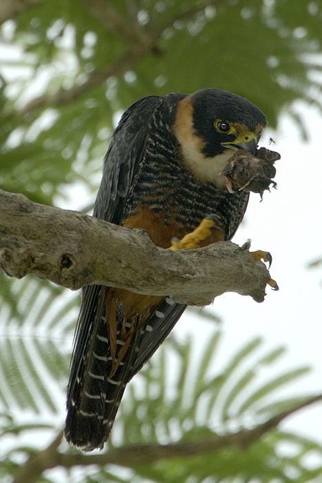 Falconiformes. sub Falconidae - sub fam Falconinae - gênero Falco - Página 2 Falc%C3%A3o-morcegueiro-65163-72