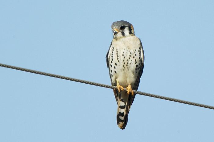Falconiformes. sub Falconidae - sub fam Falconinae - gênero Falco - Página 3 056%20-Quiri-quiri%5Cquiri-quiri-68922-72