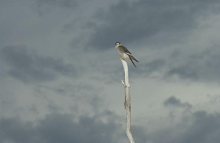 Falconiformes. sub Falconidae - sub fam Falconinae - gênero Falco - Página 3 Quiri-quiri-5021-72
