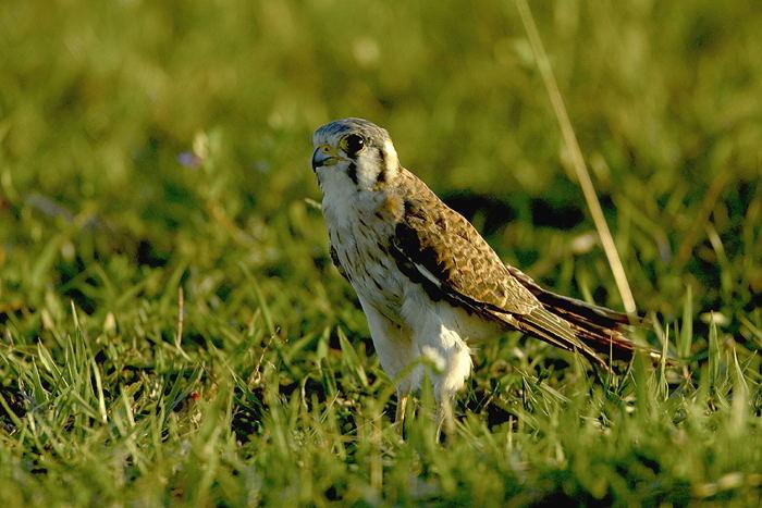 Falconiformes. sub Falconidae - sub fam Falconinae - gênero Falco - Página 3 Quiri-quiri-5405-72