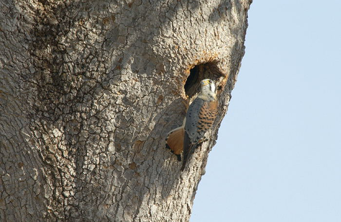 Falconiformes. sub Falconidae - sub fam Falconinae - gênero Falco - Página 3 Quiri-quiri-68921-72