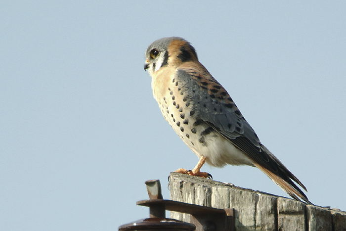 Falconiformes. sub Falconidae - sub fam Falconinae - gênero Falco - Página 3 Quiri-quiri-68929-72