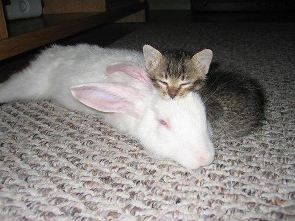 ПРИЈАТЕЛИ - Page 3 Unlikely-sleeping-buddies-kitten-rabbit