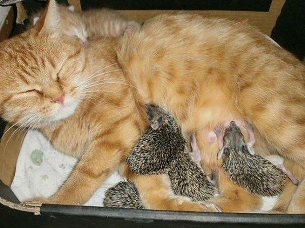 ПРИЈАТЕЛИ - Page 3 Unlikely-sleeping-buddies-momma-cat-hedgehogs