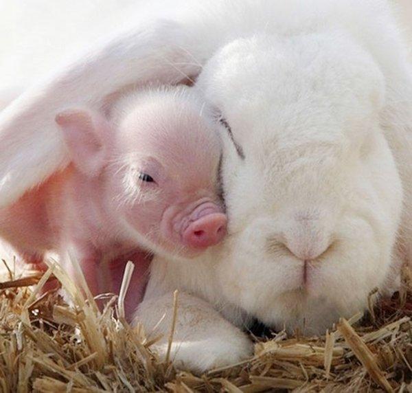 ПРИЈАТЕЛИ - Page 3 Unlikely-sleeping-buddies-piglet-bunny