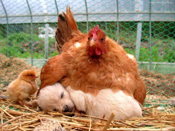 ПРИЈАТЕЛИ - Page 3 Unlikely-sleeping-buddies-puppy-chicken