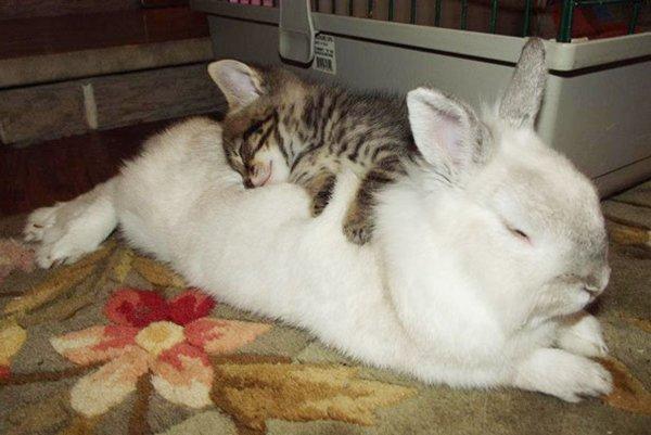 ПРИЈАТЕЛИ - Page 3 Unlikely-sleeping-buddies-rabbit-cat