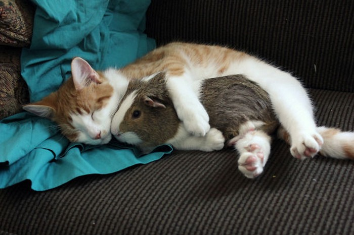 ПРИЈАТЕЛИ - Page 2 Unlikely-animals-sleeping-together-posted-at-awesomelycute.com-25