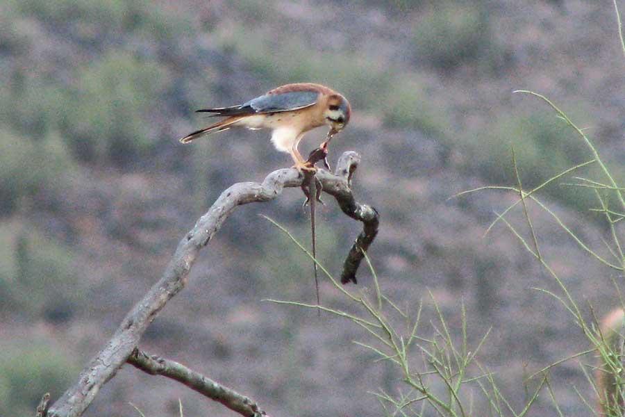 Falconiformes. sub Falconidae - sub fam Falconinae - gênero Falco - Página 3 Kestrel-liz2-900-web