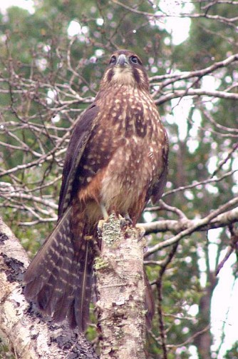 Falconiformes. sub Falconidae - sub fam Falconinae - gênero Falco - Página 2 Kareamoustach