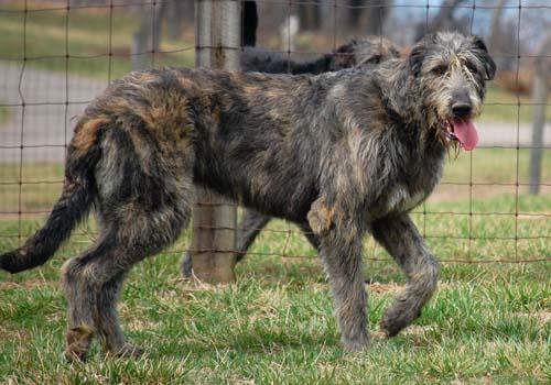 L'Irish Wolfhound Q15